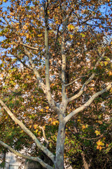 Green maple tree with leaves falling