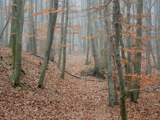 Foggy forest landscape. Perfectly natural forest path.