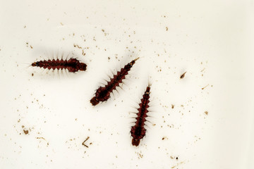 Mosquito Larvae or Wrigglers in Water
