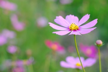 Wall Mural - pink cosmos flowers nature green garden background