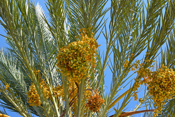 Date tree against the blue sky, yellow dates are hanging on the palm tree bottom view. Harvesting.