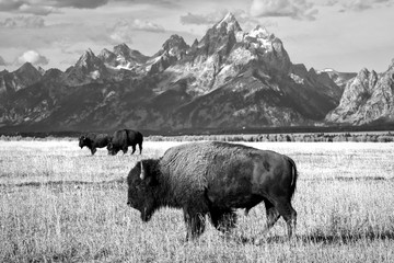 Group of Bison Grazing ieneath the Teton Mountains in Grand Teton National Park