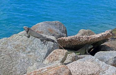 Two lizards on rocks by the ocean in Aruba