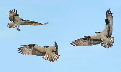 Three Individual Osprey in Flight with Outstretched Wings on a Blue Sky Background