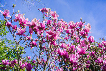 White and Pink Magnolia branches full of blossoms; blue sky background