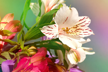 Alstroemeria flowers in soft light. Macro. Alstroemeria flower bud in a multi-colored soft light for design. Flowers in spring and summer.