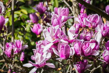 Extravagant display of White and pink Magnolia blossoms