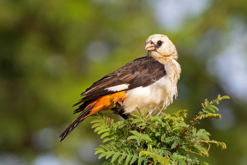 White headed buffalo weaver bird, White faced buffalo weaver perching on thorn tree at Serengeti National Park in Tanzania, Africa