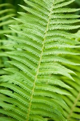 Green fern leaf growing in nature.