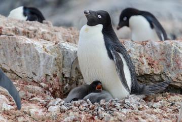 Adelie penguin with chicks in nest in Antarctica