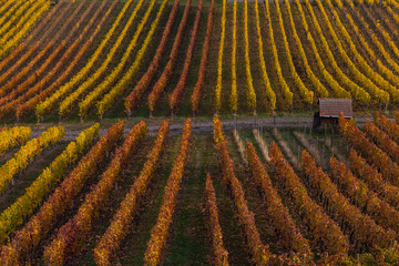 autumn in the vinyards in Weinsberg near Heilbronn in Germany