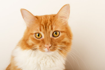 Ginger curious cat, sitting, isolated