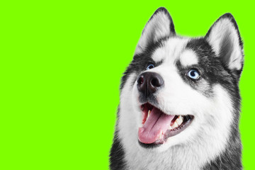 Portrait of a blue eyed beautiful smiling Siberian Husky dog with tongue sticking out isolated on UFO green background with copy space