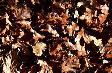 Autumn background. Fallen leaves brown texture, sun light with shadows.