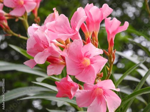 Pink Flowers Of A Tropical Plant Bougainvillea Kochi Kerala Stock