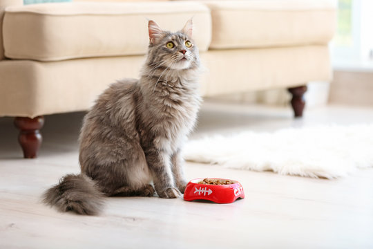 Adorable Maine Coon cat near bowl with food at home. Space for text
