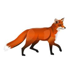 Walking red fox.