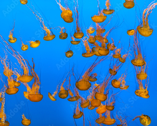 Wall mural jelly fish in the ocean