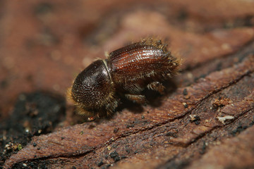 Spruce bark beetle on a close up horizontal picture. A common European insect considered pest in spruce forests.
