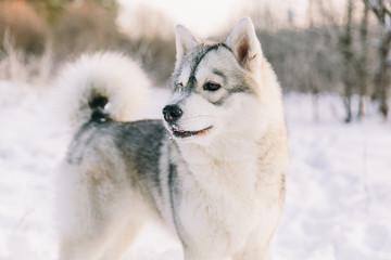 Husky dog on snowy field in winter forest. Pedigree dog