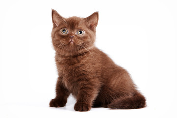 brown kitten british cat (isolated on white)
