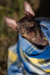Dog under a plaid. Pet warms under a blanket
