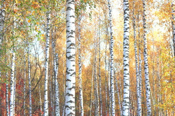 Autocollant pour porte Bosquet de bouleaux beautiful scene with birches in yellow autumn birch forest in october among other birches in birch grove