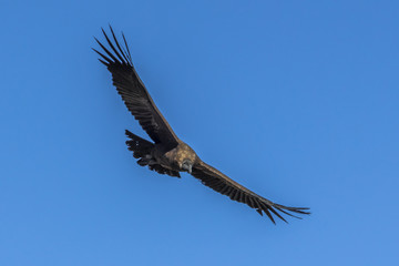 Condor with big wings in the sky of Peru