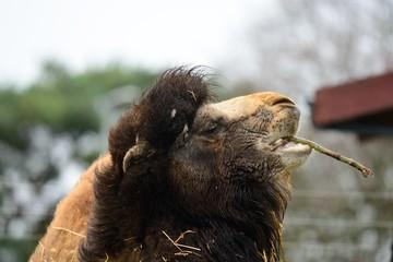 Head shot of a camel