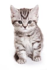 British cat fluffy tabby kitten (isolated on white)