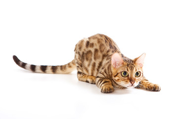 Red Bengal Cat Kitten plays (isolated on white)