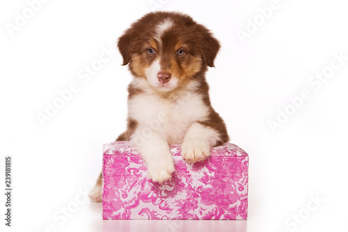 Australian Shepherd puppy in box (isolated on white)