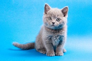 Gray british kitten on a blue background