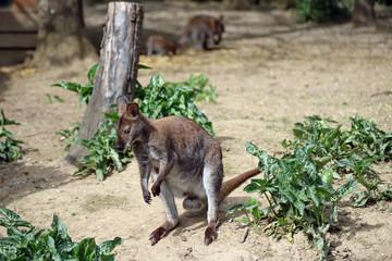 Kangourou Wallaby