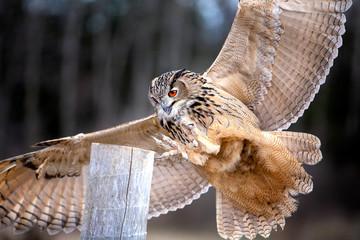 Fotomurales - Eurasian Eagle Owl