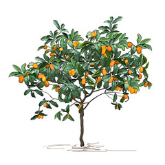 Tree a kumquat (Fortunella Swingle L.) with mature fruits