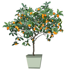 Tree a kumquat (Fortunella Swingle L.) with mature fruits, in a pot