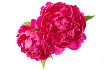 Obraz beautiful peony flowers - fototapety do salonu