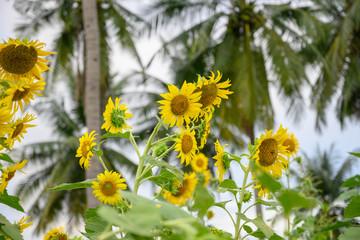 向日葵・花・sunflower・太陽・夏・黄色