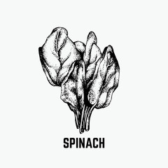 Vector illustration of spinach made in hand drawn style. Hand sketched artwork in retro style. Template for card, poster, banner, print, label.