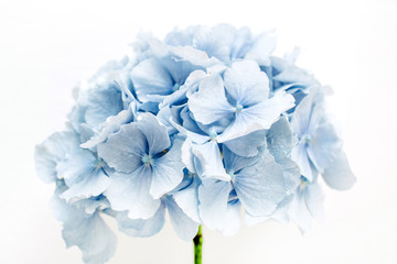 Spoed Fotobehang Hydrangea Blue hydrangea flower on white background.