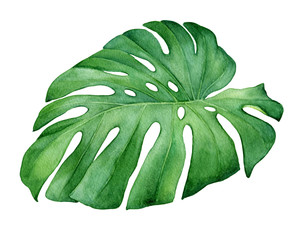 Green tropical jungle leaf of Monstera Deliciosa (also known as monster fruit, Mexican breadfruit, monstereo). Hand drawn watercolor painting illustration isolated on white background.