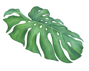 Green tropical jungle leaf of Monstera Deliciosa (also known as fruit salad tree, Mexican breadfruit, monstereo). Hand drawn watercolor painting illustration isolated on white background.