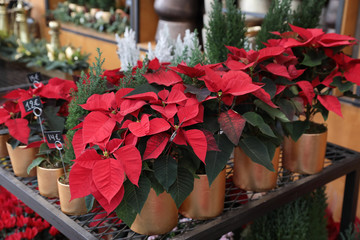 Potted red poinsettia or Euphorbia pulcherrima Christmas traditional flower in the flowers bar.