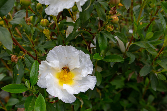 A honey bee on a white rock rose or Cistus Bennetts White