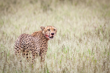 Beautiful male cheetah resting in green grass after successful hunt.