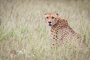 portrait of adult cheetah sitting in tall green grass while staring at the viewer.
