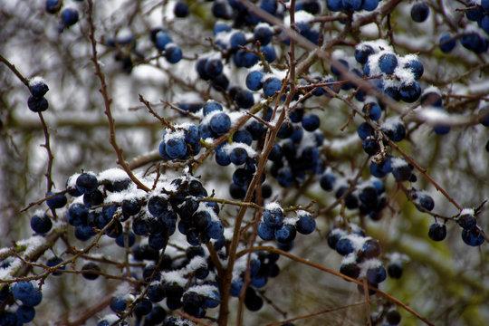 frozen sloe berries in winter