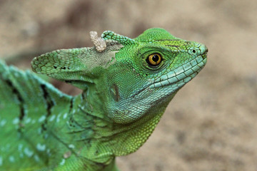 green reptile with yellow eyes