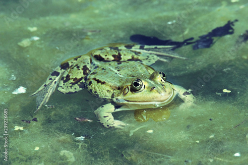 green frog with pop eyes swimming in dirty water